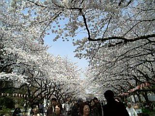 上野公園の満開の桜の下から