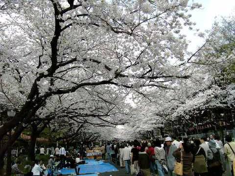 上野公園の満開の桜