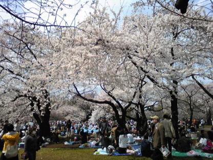 桜が満開の新宿御苑からモブログ