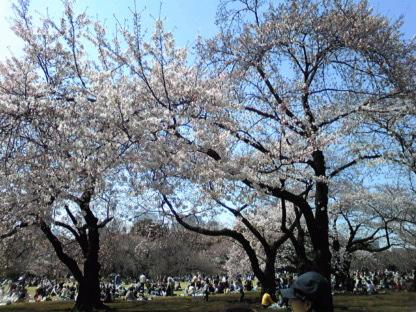 春うららかに新宿御苑の桜