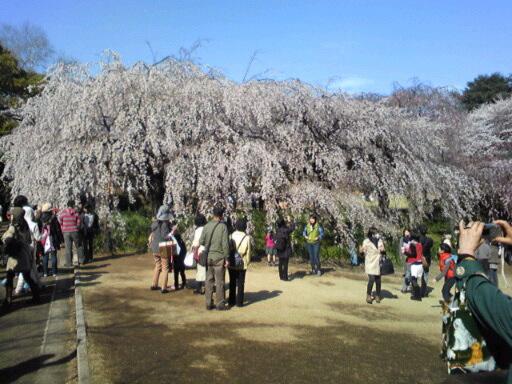 東京の桜はけふ満開